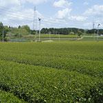 遠くまで続く茶畑。