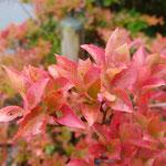 10月13日、庭のドウダンツツジが色づき始めました。