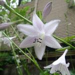 7月3日。庭のギボウシが花をつけました。