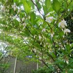 頭上一面に咲いているように見えますが小さな庭木です。