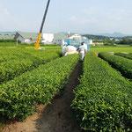夕方から明日のための茶摘みが始まりました。