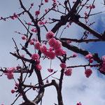 お向かいの梅が咲きました