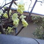 ご近所の花(名前は不確かですが、トサミズキかも)