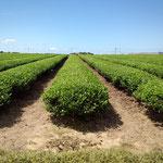 打越の茶畑。一番を刈り取った後です。