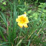 キスゲ、今年も咲いてくれました。