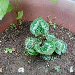 10月13日、植木鉢に芽生えた葉、シクラメンであることに気づく。