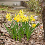 4月2日、庭の水仙が咲いていました。
