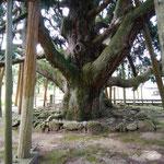 白峰までの道中、吉野谷のおぼけ杉。