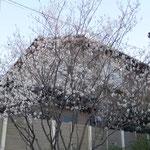 ジューンベリーの花。