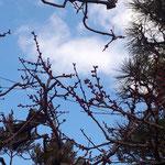 17日、お向いさんの梅の木、もうすぐ開花