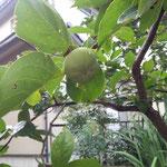 18日、柿、実っています。いつもより早いのでは。