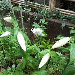 17日、ユリが咲きました。8個あります、楽しみ。