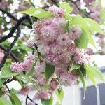 造幣局の通り抜けで兼六園菊桜を見てきました。