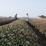 4月3日。打越の茶畑。