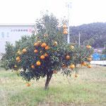 ご近所の果樹園。たわわというのはこのこと。見ているだけで幸せな気分になります。