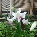 18日、ユリ3本開花。テッポウユリの系統だと思います。