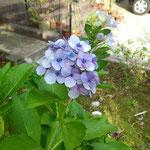 2日。9月なのに紫陽花が咲いています。