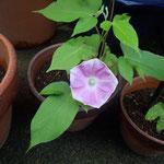 7月10日朝、アサガオが一輪、咲いていました。