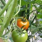 26日。我が家のなんちゃって家庭菜園のトマト。ようやく色づきました。