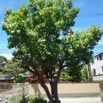 駐車場でみつけたアンズの木。