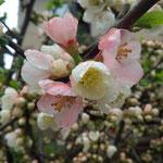 7日。ボケが開花。