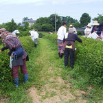 茶摘み。畝の間隔が広い。耕運機を入れるため。