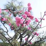 お向かいさんの塀越しの紅梅。わが家にとっては春の「標準木」。