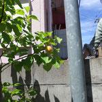 活動3年目で早くも実をつけた木もあります。