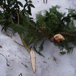 解けた雪の下から折れた庭木が出てきました。