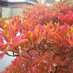 赤いもの、庭のドウダンツツジ。