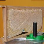Komplett verdeckelte Honigwabe im Naturwabenbau