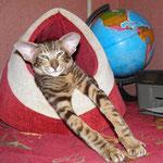 ориентальный кот Quinn Simba Bersia b 22