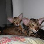 Quinn Simba Bersia & Golden Orion Aisha Lin-ориентальная порода, короткошерстные кошки, ориентальная фото.