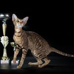 ориентальная кошка QUEENIE BERSIA (OSH b23)