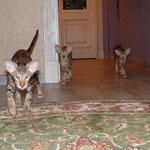 ориентальные котята litter A