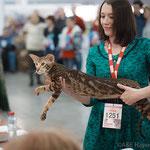 Quinn Simba Bersia (тигрр) - ориентальная порода, короткошерстные кошки, ориентальная фото, мраморный кот.