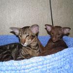 cats boy Quinn Simba BERSIA & Siamesis Amor