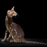 ориентальная порода, короткошерстные кошки-Quinn Simba Bersia (OSH b 22), мраморный кот.