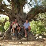 uralter Olivenbaum auf Su Golgo