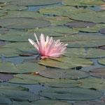Seerosen im Bleder See