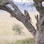 Tanzania 2017, een luipaard die zijn prooi (jonge Gnoe) de boom in trekt