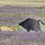 Tanzania 2017, onderschat nooit een buffel