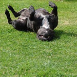 Prizewinning Staffordshire Bull Terrier