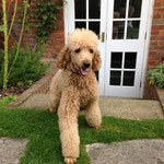 Bertie the standard poodle