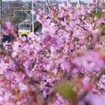 佳作【河津桜と黄色い電車】