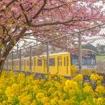 特選【花満開の沿道と幸せの黄色い電車】