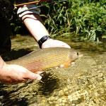 Eine schöne Äsche ist der Traum vieler Fliegenfischer