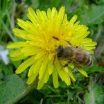 Biene auf Löwenzahnblüte