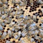 Brutwabe mit Pflegebienen
