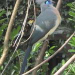 Coua cristata (Crested Coua), Cuculidae